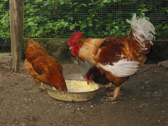 coco et les poulettes