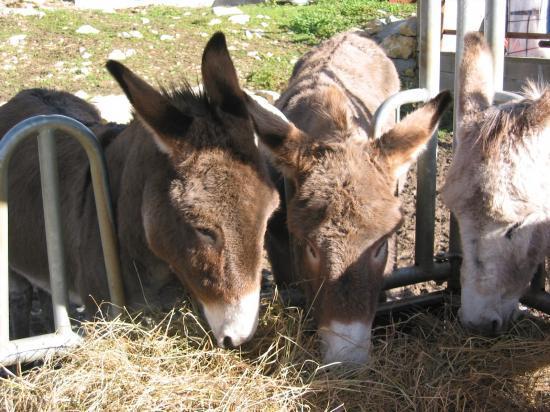 les ânes à table